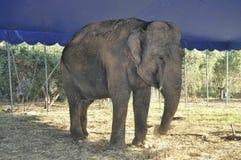 Een geïsoleerde olifant die in de schaduw eten Royalty-vrije Stock Foto's