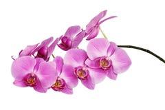 Een geïsoleerde tak van een mooie bloeiende gevoelige roze orchidee, die een gele kleur op de lagere bloemblaadjes hebben stock afbeeldingen