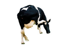 Een geïsoleerdee koe, Royalty-vrije Stock Fotografie