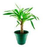 Een geïsoleerdeo yucca stock foto's