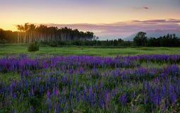 Een gebied met bloemen bij zonsondergang Royalty-vrije Stock Foto's