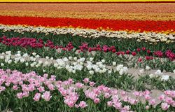 Een gebied met tulpen in verschillende kleuren de polder Royalty-vrije Stock Afbeeldingen