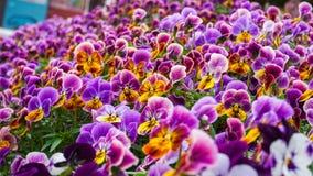 Een gebied van bloeiende kleurrijke bloemen Royalty-vrije Stock Afbeelding