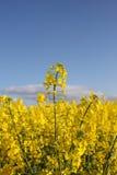 Een gebied van geel Raapzaad Stock Fotografie