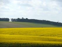 Een gebied van gele bloemen Stock Foto's