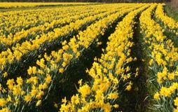 Een gebied van gele narcissen in bloei, stock afbeeldingen