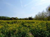 Een gebied van gele raapzaadbloemen Royalty-vrije Stock Foto's