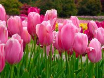 Een gebied van gele tulpen die in de vroege lente bloeien Stock Foto's