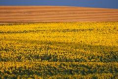 Een gebied van gele zonnebloemen. Royalty-vrije Stock Fotografie