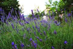 Een gebied van geurige lavendel stock afbeelding