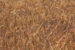Een gebied van gouden Gerst en papavers stock afbeeldingen
