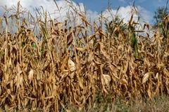 Een gebied van graan klaar voor schenking Oogst door droogte wordt vernietigd die royalty-vrije stock afbeeldingen