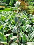 Een gebied van groene Stachys-lanata plant het groeien royalty-vrije stock afbeeldingen