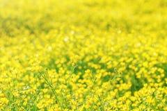 Een gebied van heldere gele bloemen Stock Fotografie