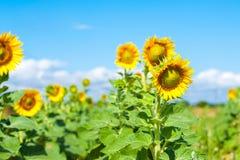 Een gebied van heldere gele zonnebloemen die door ochtendzon worden aangestoken met blauw stock afbeeldingen