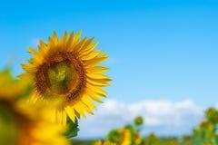 Een gebied van heldere gele zonnebloemen die door ochtendzon worden aangestoken met blauw stock fotografie
