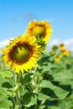 Een gebied van heldere gele zonnebloemen die door ochtendzon worden aangestoken met blauw stock foto's