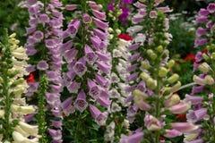 Een gebied van kleurrijke digitalisbloemen in een bloem toont royalty-vrije stock foto
