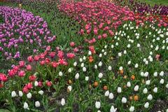 Een Gebied van multi gekleurde tulpen stock fotografie