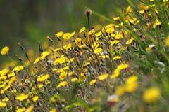 Een gebied van paardebloemen (taraxacum) Royalty-vrije Stock Foto