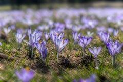 een gebied van pruplebloemen Royalty-vrije Stock Fotografie