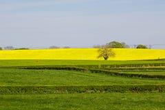Een gebied van Raapzaad oi een Iers Landbouwbedrijf met zijn heldere gele die bloemhoofden, tegen een duidelijke blauwe hemel op  stock afbeelding