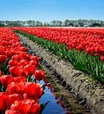 Een gebied van rode tulpen Stock Afbeeldingen