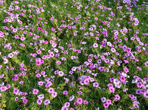 Een gebied van roze bloemen Stock Foto's