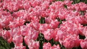 Een gebied van roze tulpen stock videobeelden