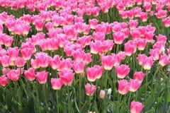Een gebied van roze tulpen in de polder Stock Afbeelding