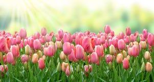 Een gebied van roze tulpen in de zonneschijn, achtergrond voor een groetkaart in groene en roze tonen stock foto's
