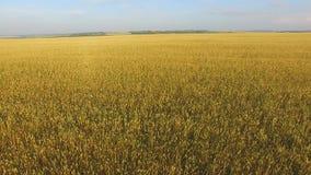 Een gebied van tarwe stock video