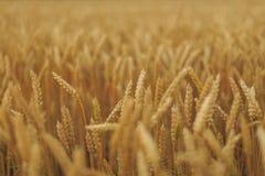 Een gebied van tarwe Stock Foto