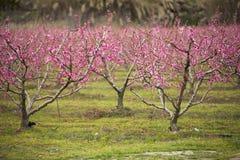 Een gebied van tot bloei komende amandelbomen Stock Foto