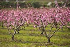 Een gebied van tot bloei komende amandelbomen Stock Foto's