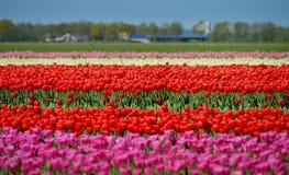 Een gebied van tulpen Stock Foto