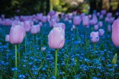 Een gebied van tulpen Stock Afbeelding