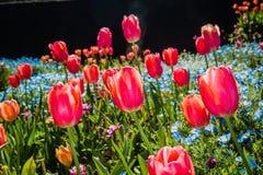 Een gebied van tulpen Royalty-vrije Stock Afbeelding