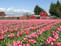 Een gebied van Tulpen met Schuur Stock Foto