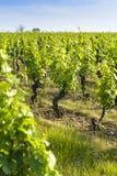 In een gebied van wijngaarden Royalty-vrije Stock Afbeeldingen