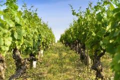 In een gebied van wijngaarden Stock Foto's