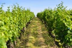 In een gebied van wijngaarden Stock Foto