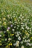 Een gebied van wilde bloemen in de lente Stock Afbeeldingen