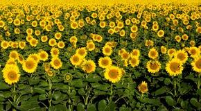 Een gebied van zonnebloemen. Stock Afbeelding