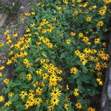 Een gebied van zonnebloemen Royalty-vrije Stock Foto's