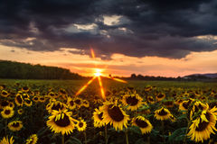 Een gebied van zonnebloemen bij zonsondergang Royalty-vrije Stock Foto