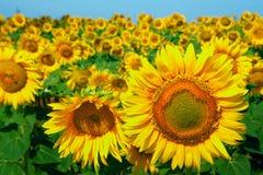 Een gebied van zonnebloemen op blauwe hemel Royalty-vrije Stock Afbeeldingen