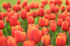 Een gebiedshoogtepunt van gele rode tulpen stock afbeelding