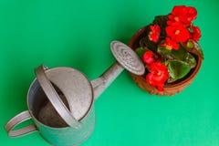 Een gebloeide rode begonia Stock Fotografie