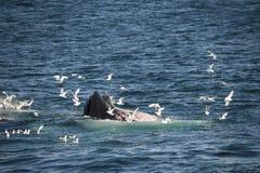 Een gebocheldewalvis en zeemeeuwen die samen in de Noordpoolwateren dineren stock foto